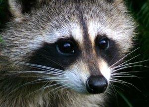 coon eyes,raccoon,smokey eye,makeup,